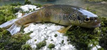 Juillet pluvieux, poissons heureux…